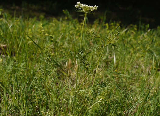 image of Daucus pusillus, American Queen Anne's Lace, American Wild Carrot
