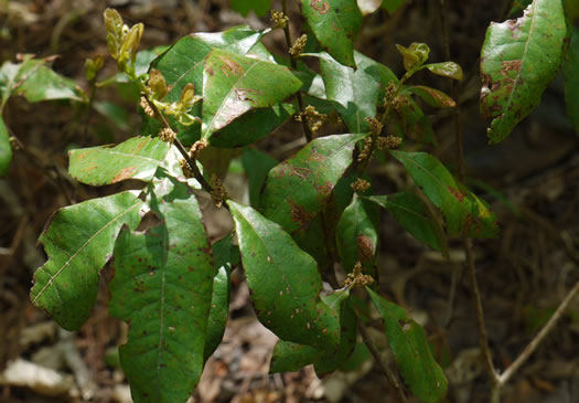 image of Morella caroliniensis, Pocossin Bayberry, Evergreen Bayberry, Swamp Candleberry, Southern Bayberry