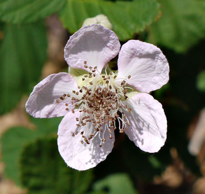 flower of Rubus bifrons, European Blackberry, Himalaya-berry, Himalayan Blackberry