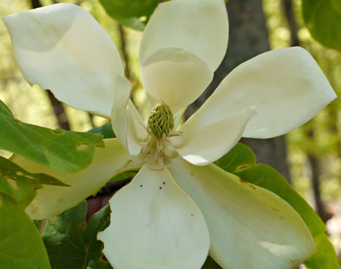 flower of Magnolia fraseri, Fraser Magnolia, Mountain Magnolia, Earleaf Umbrella-tree, Umbrella Tree