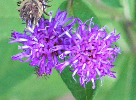 image of Vernonia glauca, Broadleaf Ironweed, Appalachian Ironweed, Tawny Ironweed