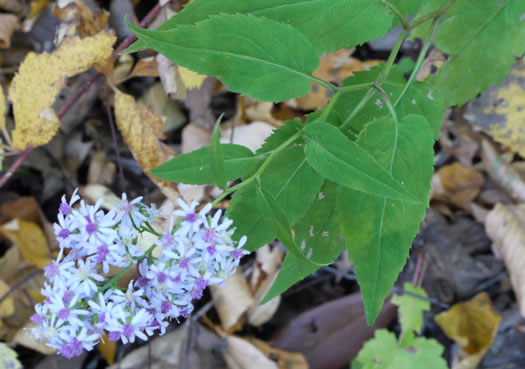 image of Symphyotrichum cordifolium, Common Blue Wood Aster, Heart-leaved Aster