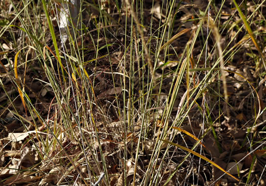 rhizome: Sorghastrum elliottii, Elliot's Indiangrass, Slender Indiangrass, Nodding Indiangrass