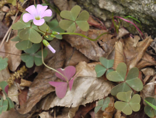 image of Oxalis violacea, Violet Wood-sorrel