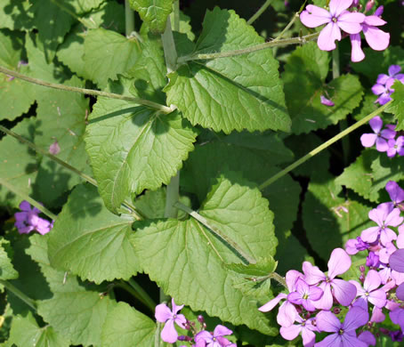 image of Lunaria annua, Annual Honesty, Money Plant, Silver-dollar Plant