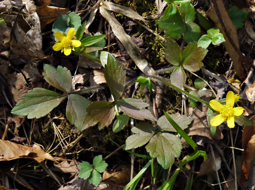 image of Ranunculus fascicularis, Early Buttercup, Thick-root Butterdup