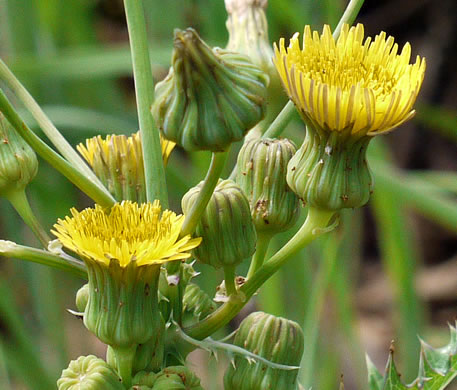 Sonchus asper, Prickly Sowthistle, Spiny-leaf Sowthistle