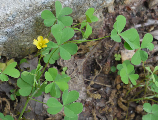 image of Oxalis dillenii, Southern Yellow Wood-sorrel