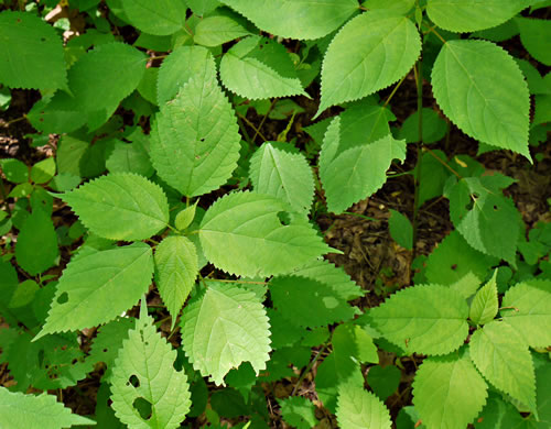 image of Laportea canadensis, Wood Nettle