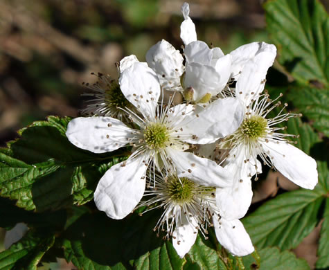 flower of Rubus pensilvanicus, Pennsylvania Blackberry, Highbush Blackberry, Southern Blackberry