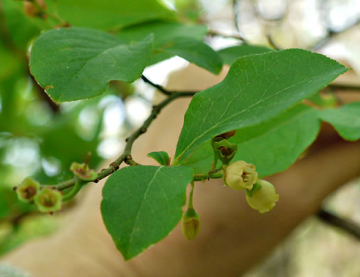 berry: Vaccinium corymbosum, Smooth Highbush Blueberry, Northern Highbush Blueberry