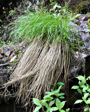 image of Carex misera, Wretched Sedge