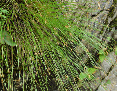 image of Trichophorum cespitosum, Deerhair Bulrush, Deergrass