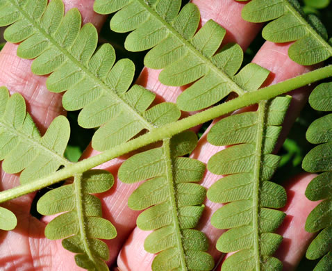 image of Osmunda claytoniana var. claytoniana, Interrupted Fern