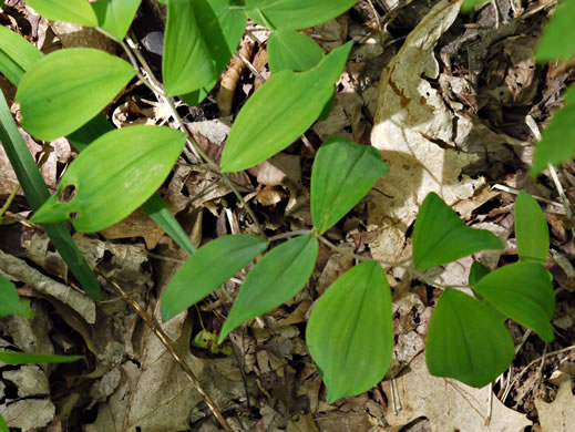 leaves of Bellwort species: Uvularia sessilifolia, Uvularia sessilifolia, Uvularia sessilifolia