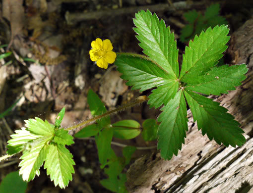 image of Potentilla simplex, Old Field Cinquefoil, Old-field Five-fingers, Common Cinquefoil