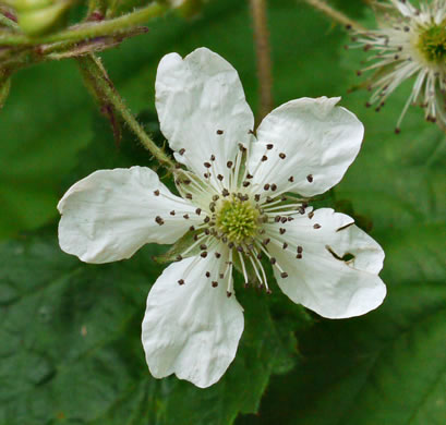 flower of Rubus allegheniensis, Allegheny Blackberry