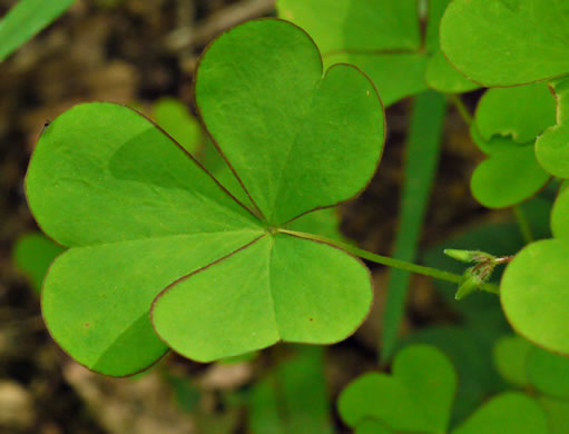 image of Oxalis grandis, Large Wood-sorrel, Great Yellow Wood-sorrel