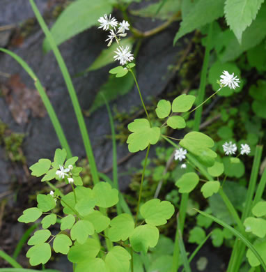 image of Thalictrum clavatum, Mountain Meadow-rue, Lady-rue