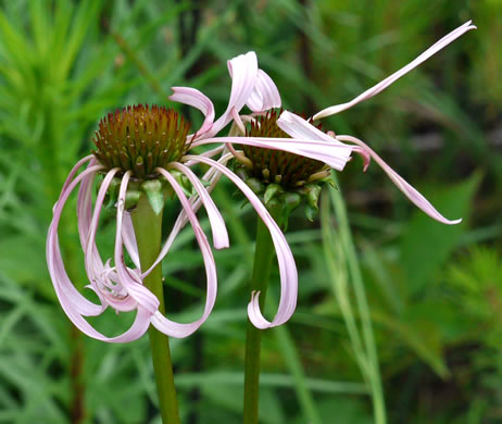 image of Echinacea laevigata, Smooth Purple Coneflower, Smooth Coneflower