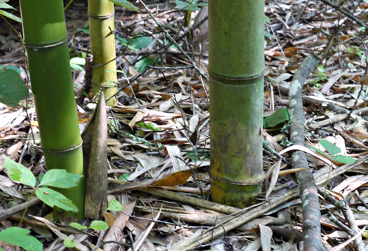 image of Phyllostachys bambusoides, Giant Timber Bamboo, Japanese Timber Bamboo