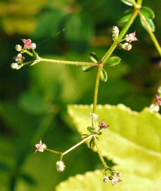 image of Galium pilosum +, Hairy Bedstraw