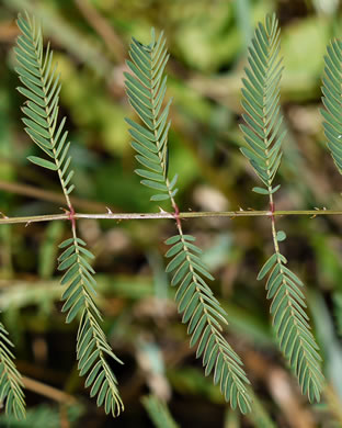 image of Mimosa microphylla, Eastern Sensitive-briar