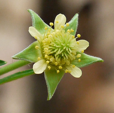 flower of Geum virginianum, Pale Avens, Cream Avens