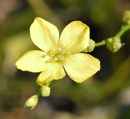 flower of Linum striatum, Ridgestem Yellow Flax, Ridged Yellow Flax