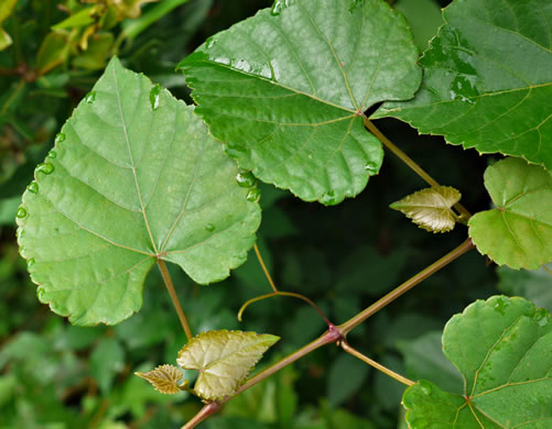 leaves of grape-like species: Vitis cinerea var. baileyana, Vitis cinerea var. baileyana, Vitis baileyana