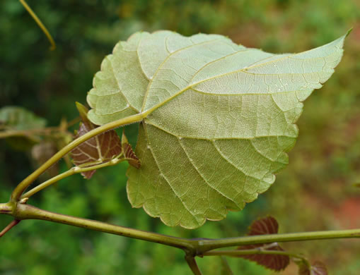 image of Vitis cinerea var. baileyana, Possum Grape
