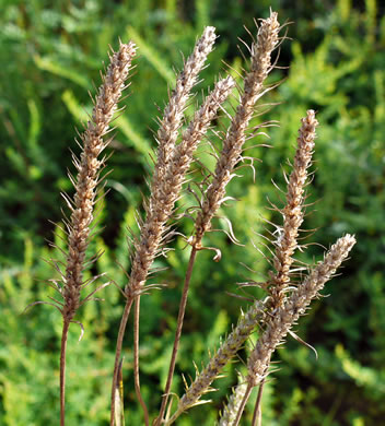 image of Plantago aristata, Bracted Plantain, Large-bracted Plantain, Buckhorn Plantain