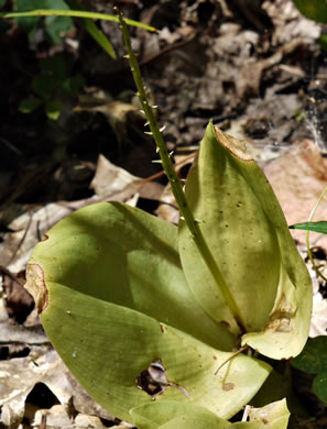 keel: Liparis liliifolia, Lily-leaf Twayblade, Large Twayblade, Purple Twayblade, Brown Wide-lip Orchid