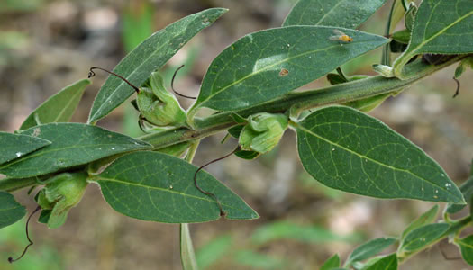 image of Aureolaria virginica, Downy False-foxglove, Downy Oak-leach, Virginia Oak-leach