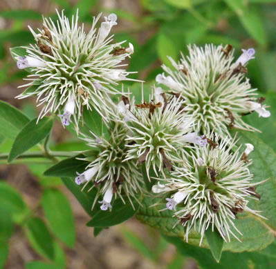 calyx: Pycnanthemum flexuosum, Savanna Mountain-mint