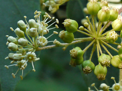 image of Aralia spinosa, Devil's Walkingstick, Hercules-club, Prickly Aralia, Prickly-ash
