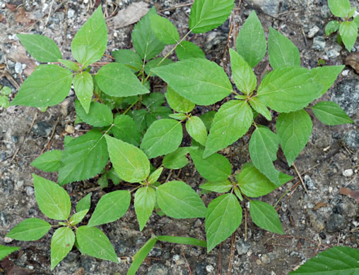 image of Acalypha rhomboidea, Common Three-seeded Mercury, Rhombic Copperleaf