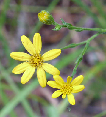 Pityopsis adenolepis, Grass-leaved Golden-aster, Grassleaf Aster