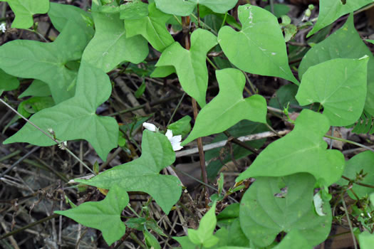 image of Ipomoea lacunosa, Small White Morning Glory, Small-flowered Morning Glory, Whitestar