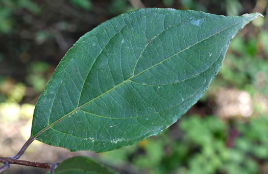 leaf or frond of Swida foemina, Southern Swamp Dogwood