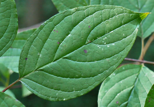 leaf or frond of Swida amomum, Silky Dogwood, Bush Dogwood, Silky Cornel
