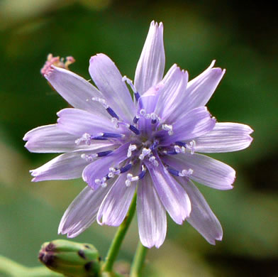 flower of Lactuca floridana, Woodland Lettuce