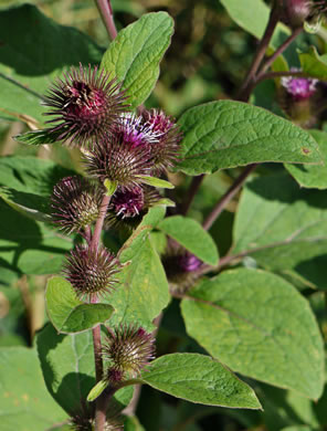 truncate: Arctium minus, Common Burdock