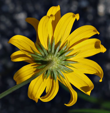 Helianthus angustifolius, Narrowleaf Sunflower , Swamp Sunflower