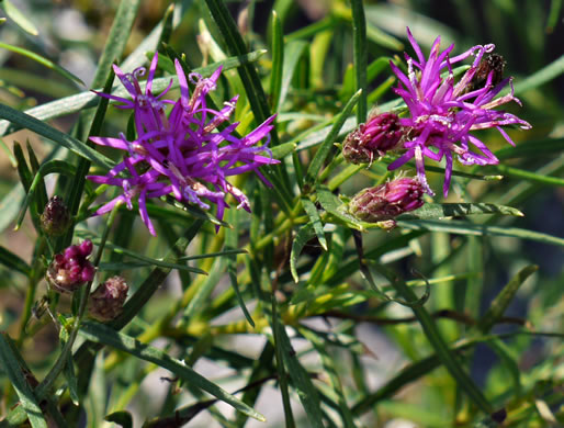 flower of Vernonia lettermannii, narrowleaf ironweed
