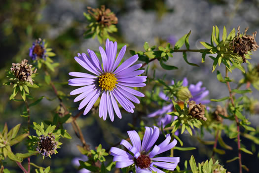 image of Symphyotrichum oblongifolium, Eastern Aromatic Aster, Shale-barren Aster