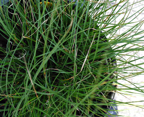 sheath: Carex appalachica, Appalachian Sedge