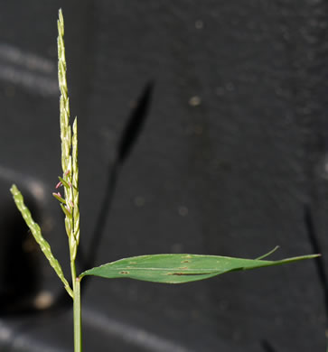 image of Microstegium vimineum, Japanese Grass, Japanese Stiltgrass, Nepalese Browntop, Nepal Grass