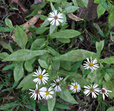 picture of Aster prenanthoides, image of Symphyotrichum prenanthoides