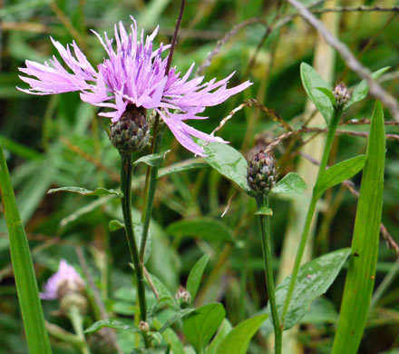 involucral bracts: Centaurea nigrescens, Centaurea nigrescens, -